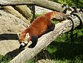 Ailurus fulgens In the Beauval Zoo.jpg