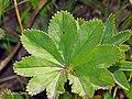 Alchemilla monticola leaf (17).jpg