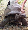 Aldabra tortoise on Ile aux Aigrettes 5.jpg