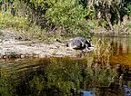 Alligator posing on the Econlockhatchee River (Central Florida).jpg