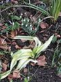 Allium Streaky Leeky (16611806436).jpg