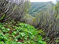 Alnus viridis in Ukrainian Carpathian Mountains path.JPG