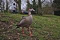 Alopochen aegyptiaca in parc Tenreuken (Auderghem, Belgium, DSCF2968).jpg