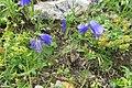 Alpine flora - harebells (Gru) (37879396921).jpg