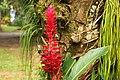 Alpinia purpurata in Costa Rica.jpg