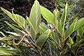 Alpinia zerumbet 22zz.jpg