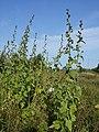 Althaea taurinensis sl41.jpg
