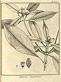 Amaioua guianensis Aublet 1775 pl 375.jpg
