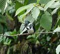 Amazon Kingfisher. Chloroceryle inda. Female. - Flickr - gailhampshire.jpg