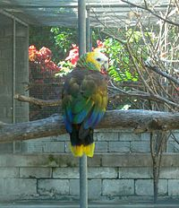 Amazona guildingii -Botanical Gardens -Kingstown -Saint Vincent-8a.jpg