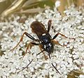 Amblyjoppa fuscipennis. Large Ichneuman Wasp - Flickr - gailhampshire (3).jpg