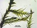 Amblystegium subtile (c, 144721-474807) 2622.JPG
