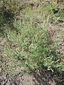 Ambrosia artemisiifolia kz11.jpg