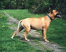 ARRETE DU 27 AVRIL 1999 - CRITERES MORPHOLOGIQUES 220px-American_Pit_Bull_Terrier_%28Bubu%29
