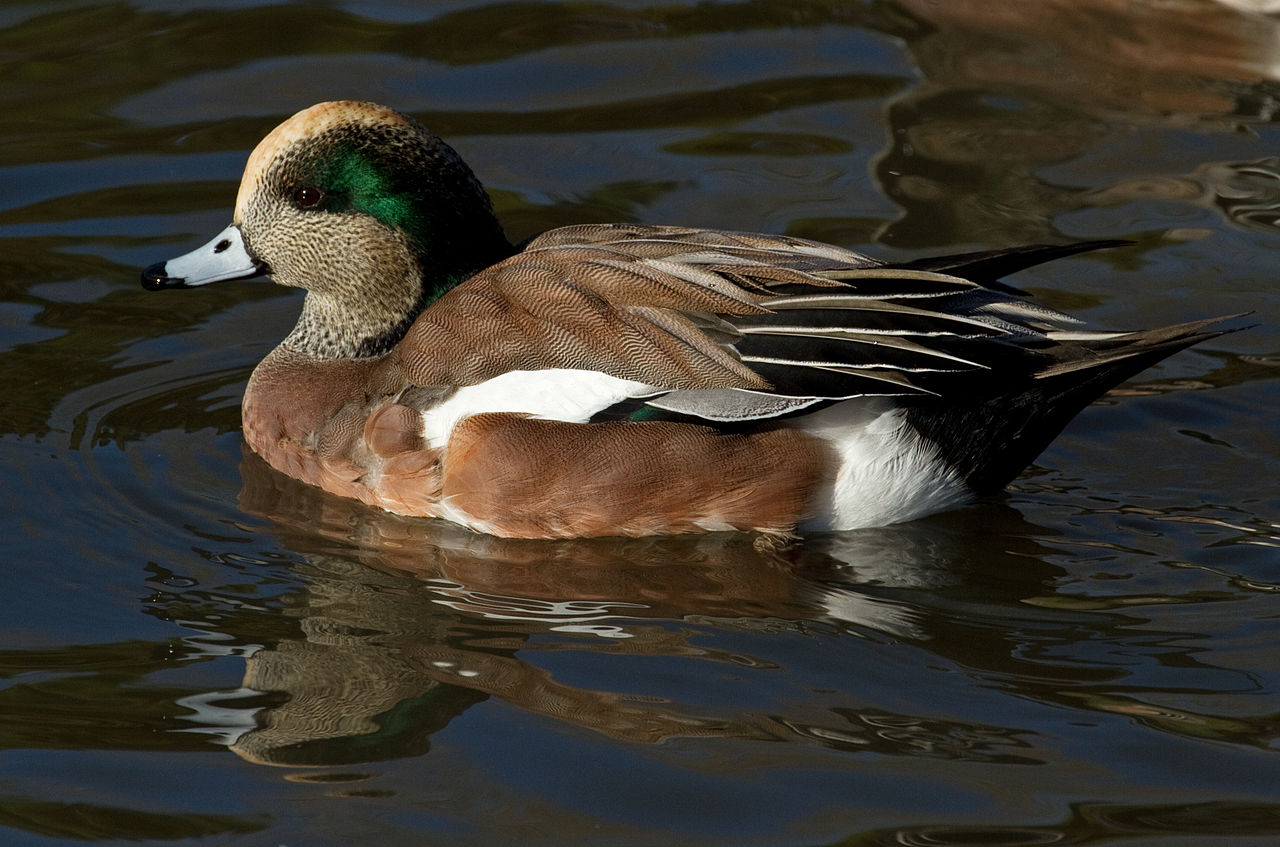 American wigeon - photo#3