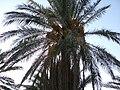 Ammar-Palm-tree.JPG