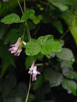 Amphicarpaea edgeworthii.jpg