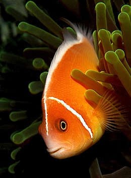 Amphiprion perideraion.jpg