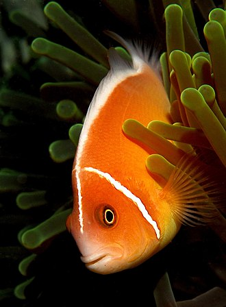 Pink skunk clownfish - Image: Amphiprion perideraion