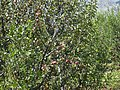 An apple tree on the way to Gangotri WTK-IMG 2698.jpg