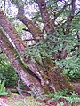 Ancient beech - geograph.org.uk - 840593.jpg