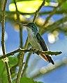 Andean Emerald (Amazilia franciae) (20226739115).jpg