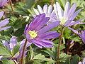 Anemone blanda3.jpg
