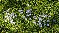 Anemone blanda 'Blue Shades' in St Mary's Church churchyard, Stapleford Tawney, Essex 02.jpg