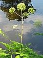 Angelica archangelica subsp. archangelica Dzięgiel litwor 2013-06-23 01.jpg