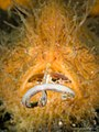 Antennarius striatus (19815990372).jpg
