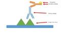 Antibody Binding .pdf