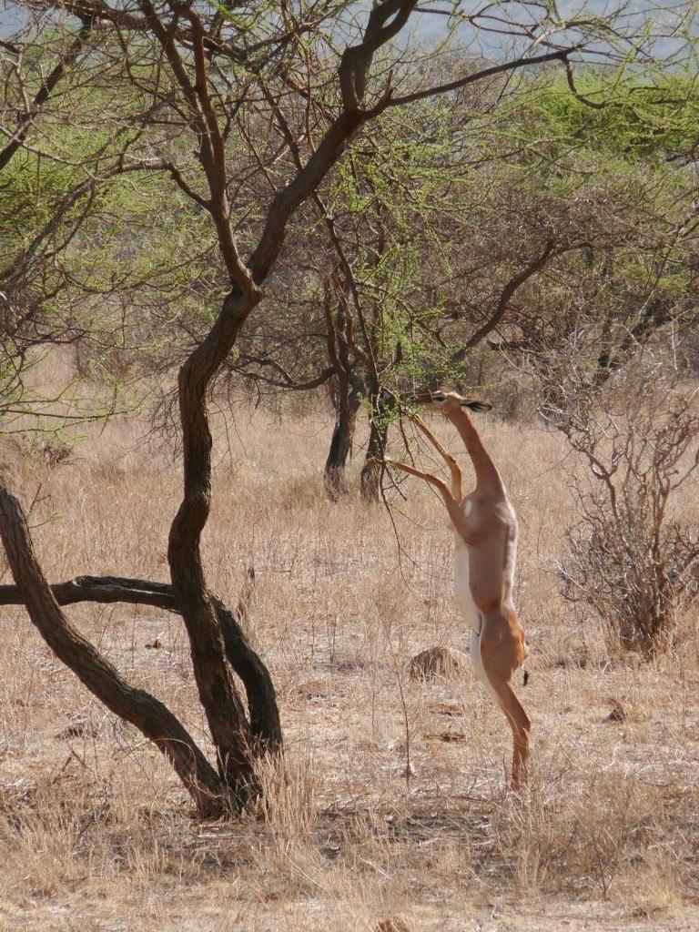 Antilope girafe debout