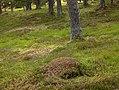 Ants' nest near Derry Lodge - geograph.org.uk - 595123.jpg