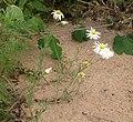 Aphanostephus skirrhobasis.jpg
