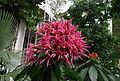 Aphelandra sinclairiana en fleurs.jpg