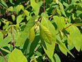 Apocynum androsaemifolium 2017-05-23 0644.jpg