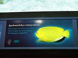 Apolemichthys trimaculatus - 1