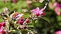 Apple Blossom (254746227).jpeg