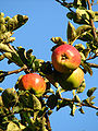 Apples on branches 03.jpg