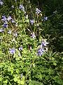 Aquilegia vulgaris RHu 001.JPG