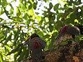 AraçariCastanho Transpantaneira Pantanal Poconé MT 1.jpg