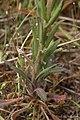 Arabis sparsiflora 4336.JPG