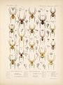 Arachnida Araneidea Vol 1 Table 7.jpg