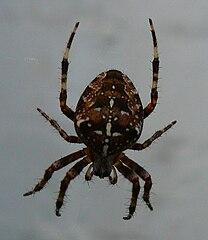 Pavúk križiak