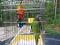 Aratinga acuticaudata in holding cage with toy.jpg
