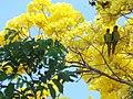Aratinga aurea (Periquito-Rei).jpg