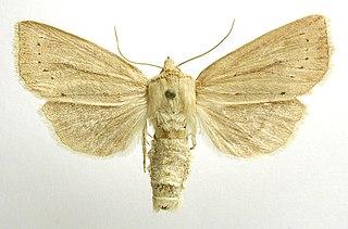 <i>Capsula algae</i> Species of moth