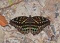 Archduke female (Lexias sp.) (21743121374).jpg