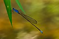 Archibasis oscillans male-Kadavoor-2015-08-20-001.jpg