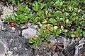 Arctostaphylos uva-ursi 2000-07-30 Karelia RU.jpg